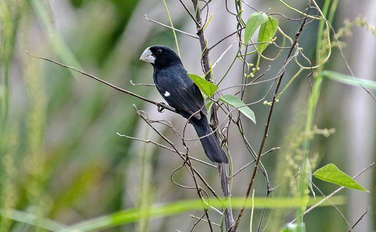 Quase extinto, pássaro famoso pelo canto será reintroduzido na natureza em SP - 10/11/2015 - Cotidiano - Folha de S.Paulo
