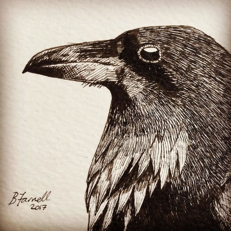 Saw a couple of Ravens over the weekend - truly magnificent birds (and huge). Here is a pen & ink of a Raven I did recently. #birdartben #birds #art #drawing #penandink