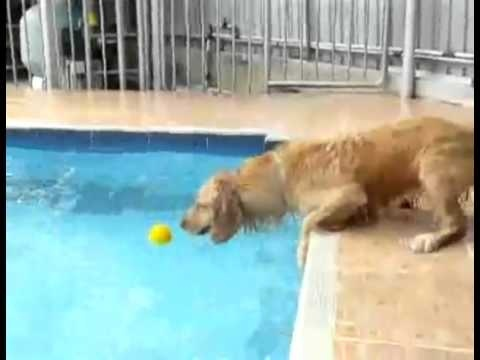 Dog Vs Pool       Watch for Free Full Movies Online   www.YouTube.com/antonpictures: Pools Water, Animales P, Poor Puppys, Animal P, Poor Doggies, Swim Pools, Dogs Pools, Tennis Ball, Cute Dogs