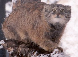 Pallas's cat  Pallas's cat, also called the manul, is a small wild cat having a broad but patchy distribution in the grasslands and montane steppe of Central Asia.