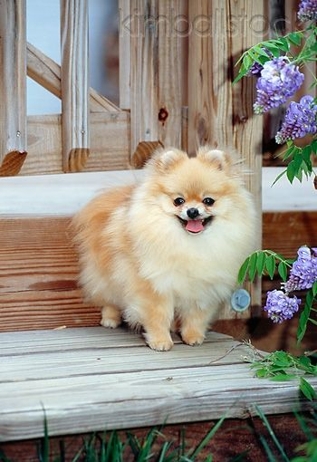 DOG 19 CE0094 01 - Pomeranian Standing On Wooden Step By Violet Flowers - Kimballstock