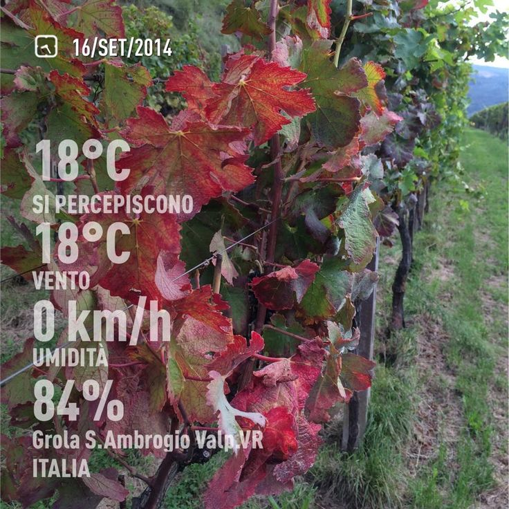 September 16th, Autumn has come to the vineyard and the leaves are turning colors.