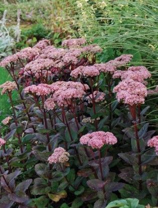 Sedum Matrona. Reddish or pale pinkish stems. 0.5 x 0.5 clump forming herbaceous perennial. Fleshy gree leaves with dark stems. WD soil in FS.