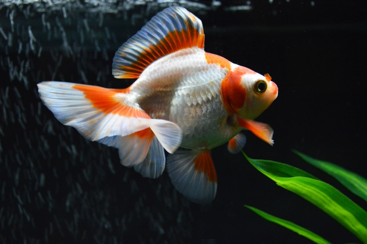 My goldfish sasha goldfish pinterest peces de for Criadero de peces goldfish