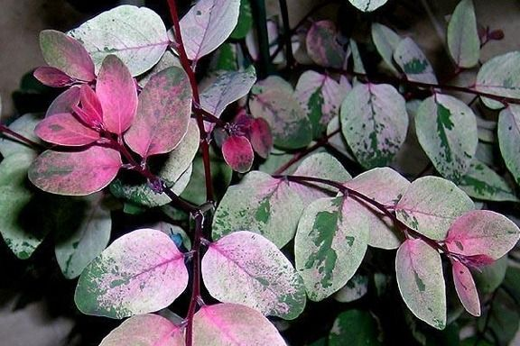 Breynia Disticha Roseo-picta Snow Bush Cutting - Florida - Ornamental Unrooted Cuttings - Plants- Ornamental - Plants and Seeds - Breynia - Heavenly-Products