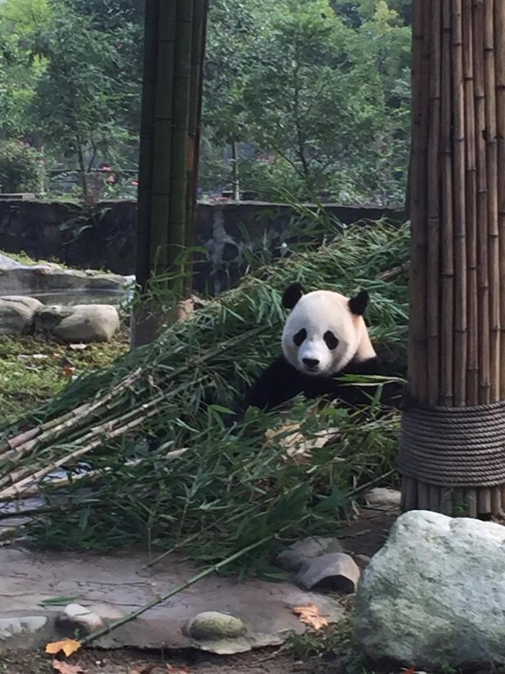 Our experience with a day-long panda volunteer program just outside of Chengdu, China.