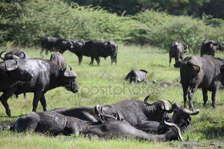 Descargar - Salvaje mamíferos animales búfalo africano de Botswana África sabana — Imagen de stock #110310188