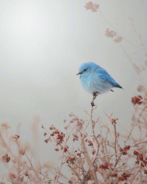 blue birdie.