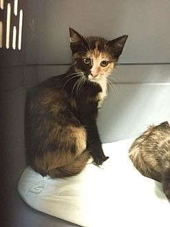 Pictures of Queen a Domestic Shorthair for adoption in Hammond, LA who needs a loving home.