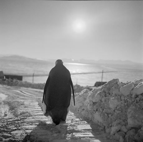 Photographer Robert McCabe recalls his visit to the Antarctic in 1959 where he encountered an unexpected visitor: (an emperor penguin) 'He was wandering around the base unsupervised, formally dressed, extremely curious, friendly and completely fearless' 'He looks like a business man carrying a briefcase' … Robert McCabe's best shot.