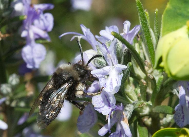 Ashy Mining Bee on Rosemary  :Dusty Gedge