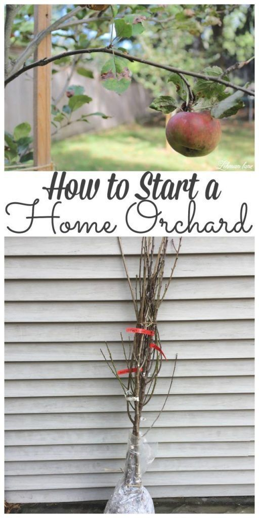It has always been my dream to have a home orchard. Stop by to see how we started ours! #orchard #homeorchard #homegrown http://lehmanlane.net