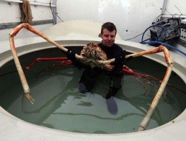 Japanese Spider Crabs: Twelve Feet of Legs – Emily Camp