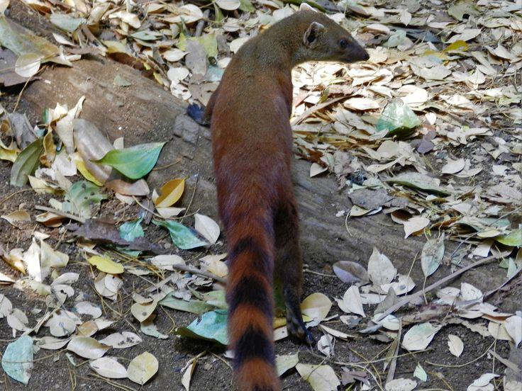 ring tailed vontsira mongoose oc 4000x3000
