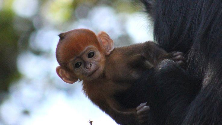 Rare baby orange langur