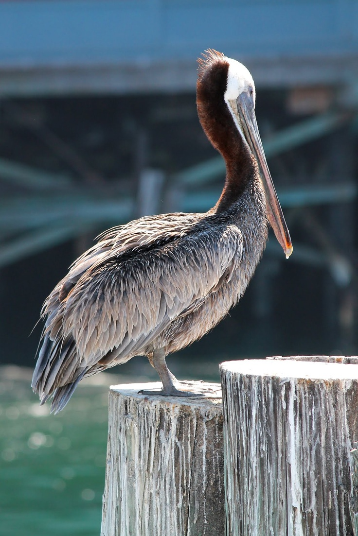 California brown pelican, monterey bay. These are endangered. There are a large number that nest in the Channel Islands.