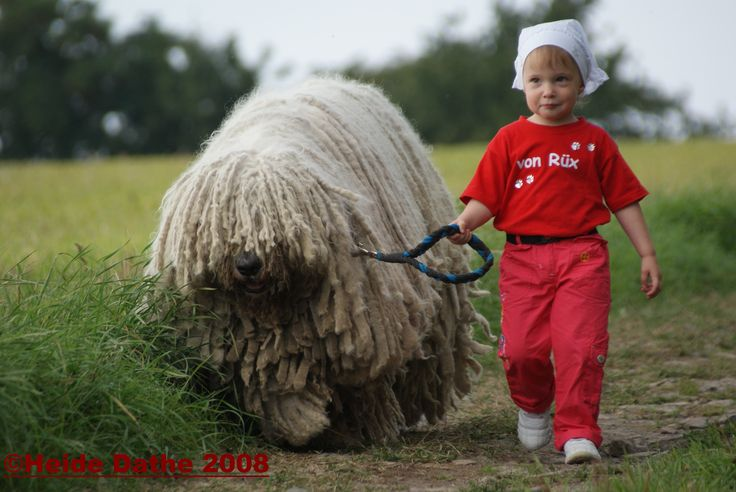 Not a Puli, but a Komondor. Really big dogs!