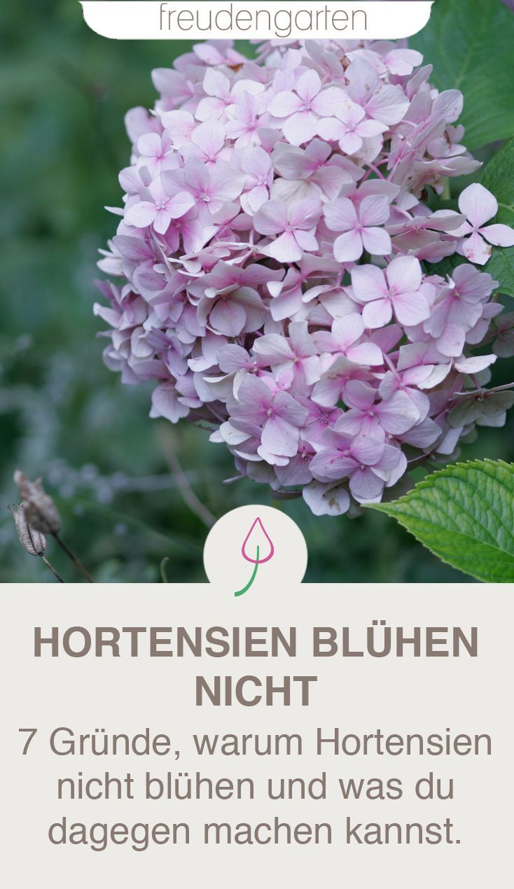 Warum Hortensien nicht blühen
