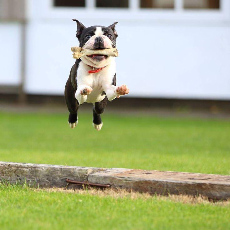 パグじぃに鹿の骨を貰って大はしゃぎ  お庭でflyingバニラ膝治ってよかったなぁ  #ボストンテリア #bostonterrier #bostonterriersforever #bostonterrierlove  #フレンチブルドック #フレブル #鼻ぺちゃ #buhi #保護犬 #protectiondog #ふさふさ部 #犬 #dog #instadog #igdogs #team_jp_ #wu_japan #写真好きな人と繋がりたい #lovers_nippon #tokyocameraclub #instagramjapan #バニラ #ジャンプ #flying #flyingdog #飛行犬 #能勢 by tetsu_ishihara