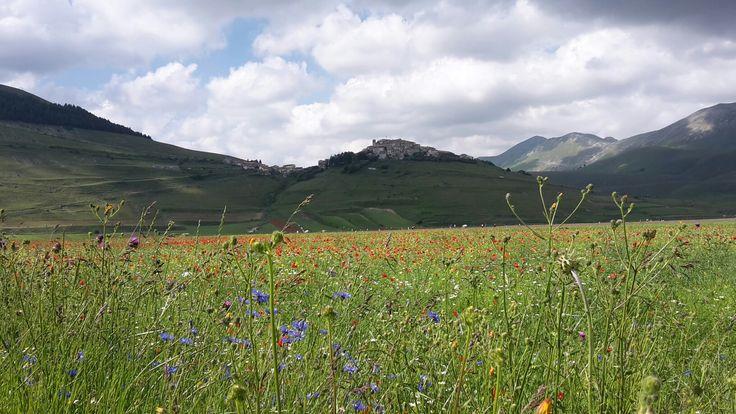 Green, blu and yellow flowers - Castelluccio di Norcia - Umbria