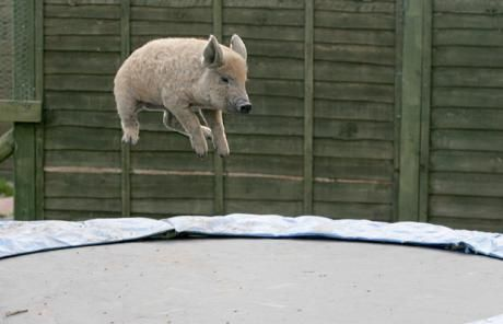 Scarlet, the piglet, on the family trampoline in Shropshire, England. #Pig #Trampoline #England