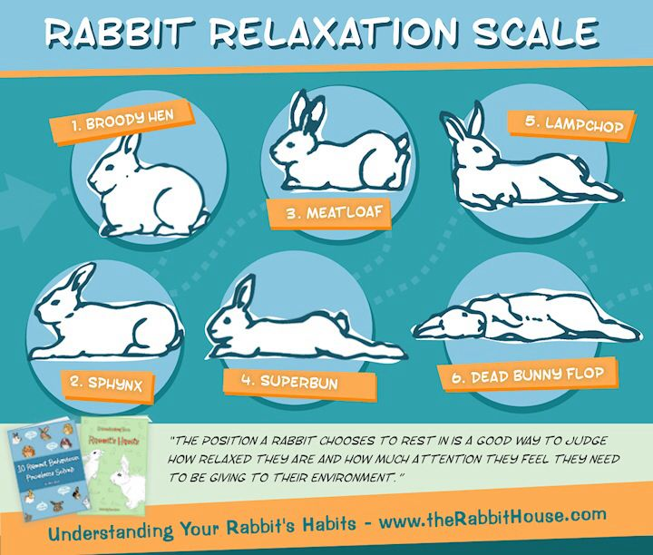 The different positions of your rabbit can explain his state of mind.