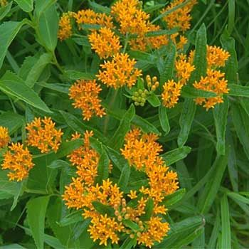 Butterfly Weed.....a Wildflower In Ohio, But We Grew It