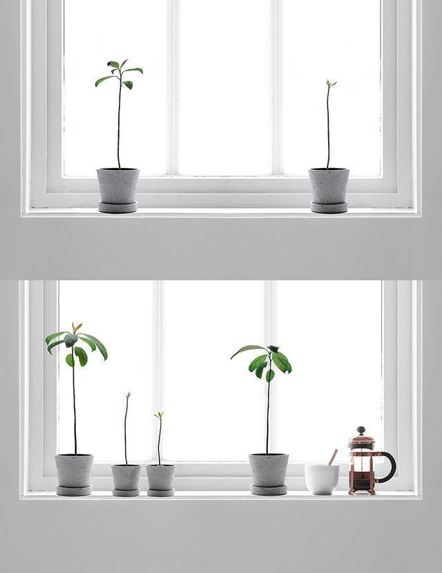 Fancy Avocado Baum als Zimmerpflanze oder im Garten