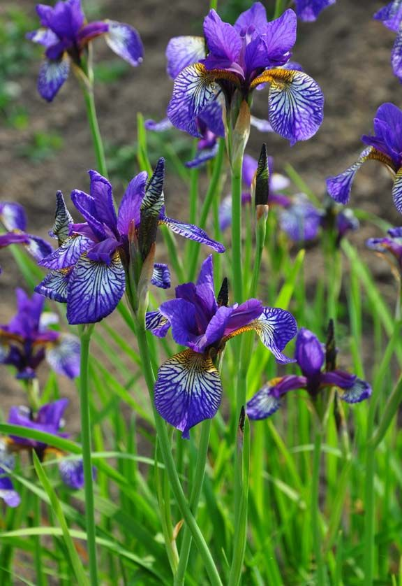 Three Dogs In A Garden How To Grow Siberian Iris Hardy Geranium Iris Flowers Plant Tags