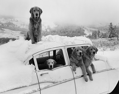 Bruce Weber  Golden Road Trip!: Families Roads Trips, Puppies, Dogs, Vintage Cars, Cars Riding, Snow Bunnies, Old Cars, Bruce Weber, Golden Retriever