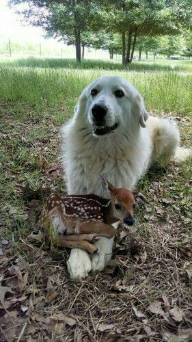 Maremma with a little fawn.  A display of their Shepherding nature.  They see their role in life as the protector of the flock...whatever that 'flock' may be that they are put in charge of.  They take their role very seriously.  Bless their beautiful hearts.