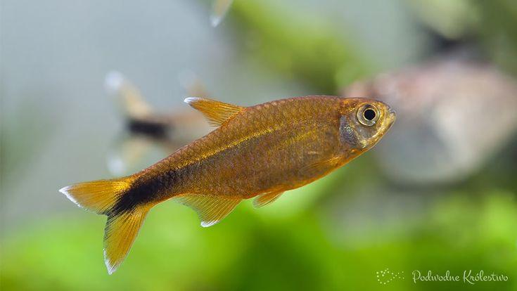 Miedzik pełny opis tej ryby jest na http://podwodnekrolestwo.pl/miedzik-obrzezony/