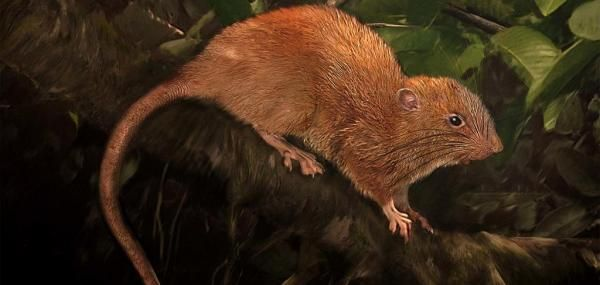 Scientists find tree-dwelling, coconut-eating rat in the Solomon Islands: Scientists have discovered a new rat species in the Solomon…