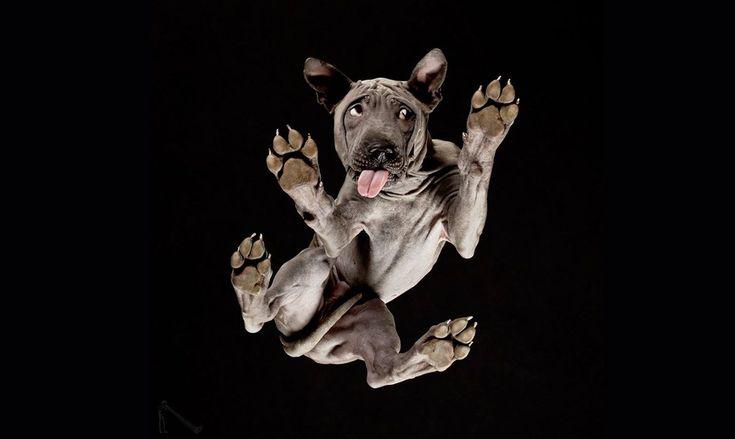 Ο πανέμορφος σκύλος με ύφος απορημένο-Ο λιθουανός φωτογράφος Αντριους Μπούρμπα είχε την τρελή ιδέα να φωτογραφίσει σκύλους, γάτες, κουνέλια και άλογα ανάποδα, τοποθετώντας τα πάνω σε ένα μεγάλο γυάλινο τραπέζι. Στις κωμικές αλλά ταυτόχρονα καλλιτεχνικές φωτογραφίες του βλέπουμε μια ασυνήθιστη όψη των αγαπημένων μας ζώων: μουσούδες να κοιτάζουν με περιέργεια και χαριτωμένες πατούσες που φαίνονται σαν να μας αγγίζουν…