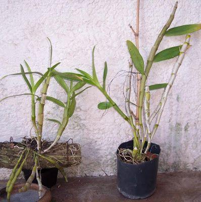 Dendrobium nobile en tronco o en maceta orqu deas - Bambu cuidados en maceta ...