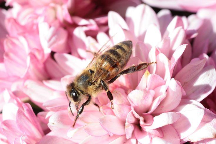 Les abeilles disparaissent, voici comment les aider