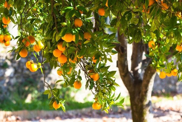 Harris-Williams Home Fragrance inspiration. Mediterranean citrus grove.
