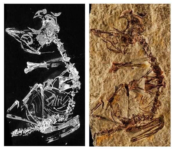 Le Fossile Revele Par Imagerie Au Rayonnement Synchrotron Grace Au Phosphore Qu Il Contient A Gauche Et Une Photographie Du Fo Fossiles Cretace Paleontologie