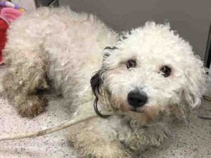 Manhattan Center CHANDLER – A1101178 MALE, WHITE / BLACK, POODLE MIN MIX, 1 yr STRAY – STRAY WAIT, NO HOLD Reason STRAY Intake condition UNSPECIFIE Intake Date 01/08/2017, From NY 10454, DueOut Date 01/11/2017,