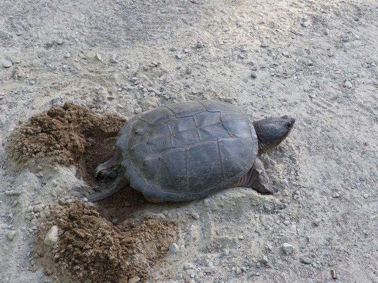 http://faaxaal.forumactif.com/t5279-photos-de-tortues-aquatiques-tortue-serpentine-chelydre-serpentine-chelydra-serpentina-common-snapping-turtle