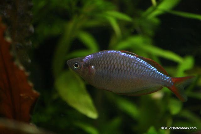 24 best aquascaping ideas images on pinterest for Dwarf rainbow fish