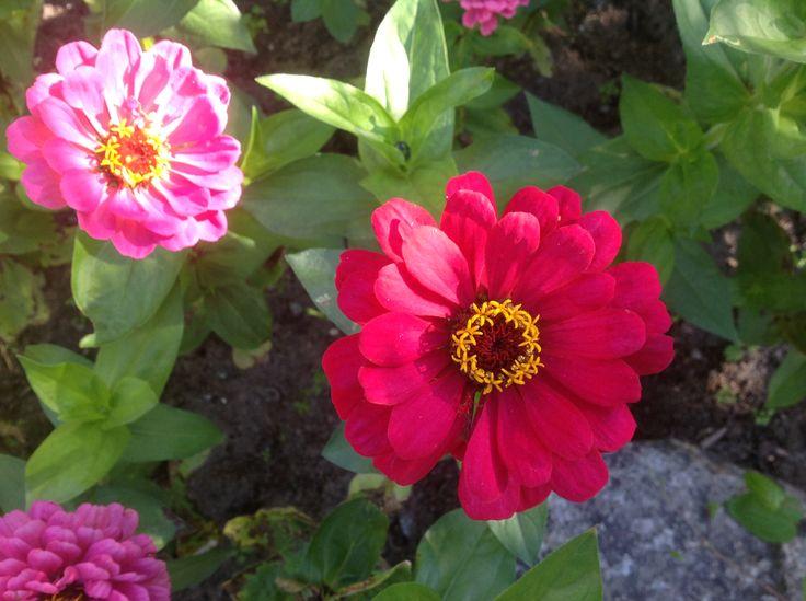 Zinnia är en tacksam blomma att själv driva upp från frö.