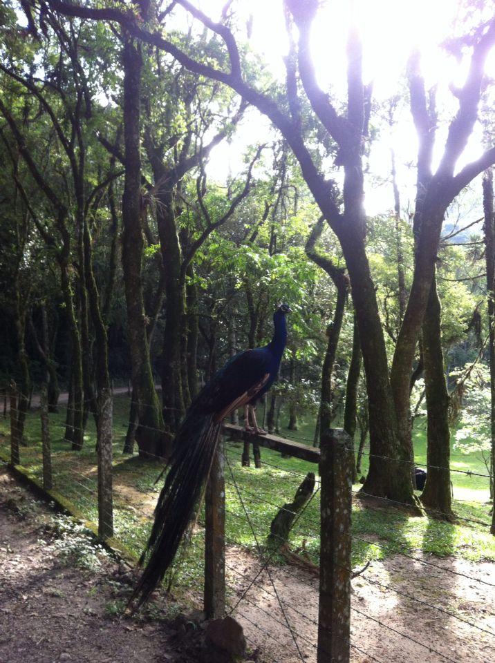 Pavão em São Luiz do Purunã