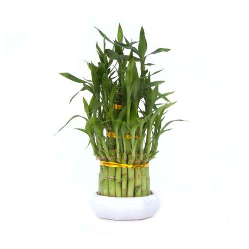 Bambu da Sorte Dracaena sanderiana Sombra