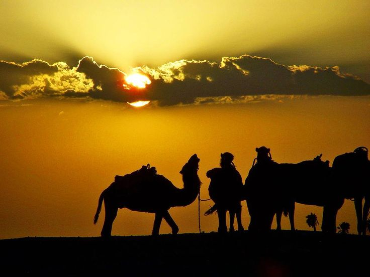 Great silhouette of a camel  at the sunset  in Douz the gateway to the Sahara  Tunisia.