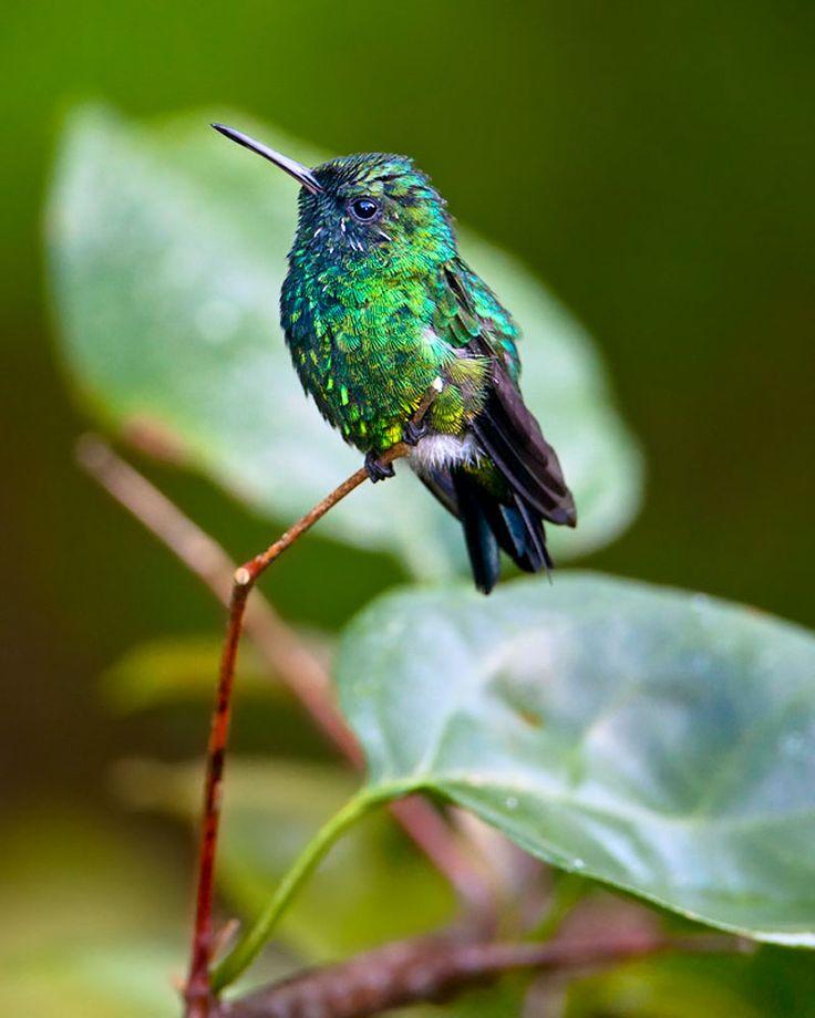 El Zumbadorcito de Puerto Rico, también conocido como Picaflor (Hummingbird of Puerto Rico also known as Picaflor)