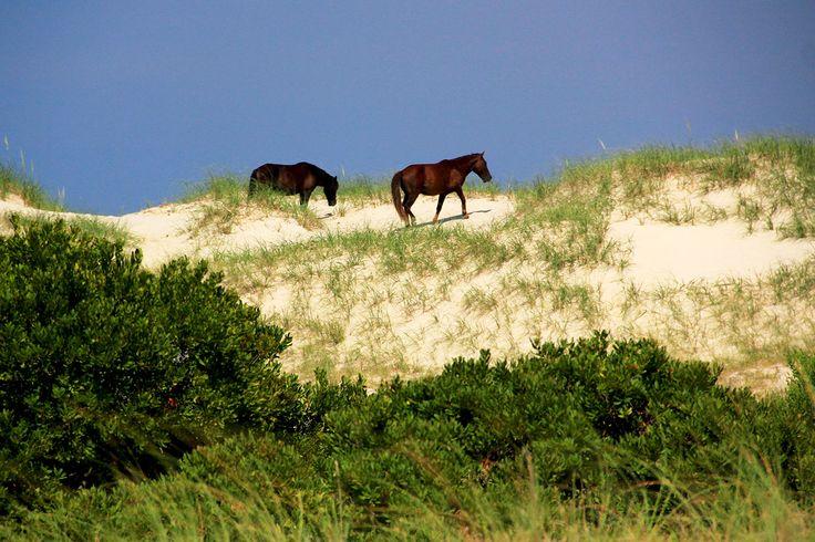 Les chevaux sauvages de #corolla #outerbanks #wildhorses