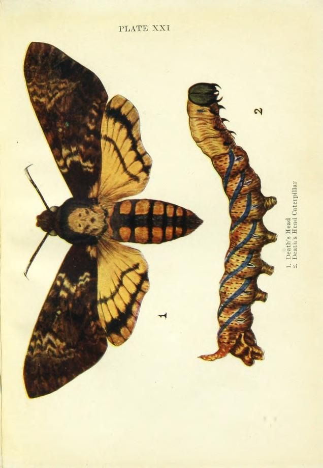 Death's Head Moth. Butterflies and moths, shown to the children London & Edinburgh,T.C. & E.C. Jack[1910] Biodiversitylibrary. Biodivlibrary. BHL. Biodiversity Heritage Library