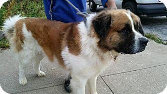 URGENT!!! BUTTERBALL, the cutest little turkey EVER!!!! <3 :) CLEVELAND OHIO....Cleveland, OH - St. Bernard Mix. Meet Butterball-Foster Needed!!, a dog for adoption. http://www.adoptapet.com/pet/11827727-cleveland-ohio-st-bernard-mix