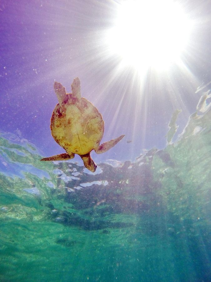 Flying Sea Turtle by Richard Chesher on 500px